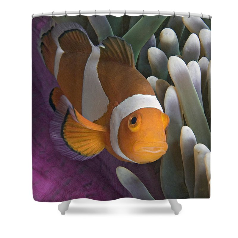 Amphiprion Shower Curtain featuring the photograph Malaysia, Marine Life by Dave Fleetham - Printscapes