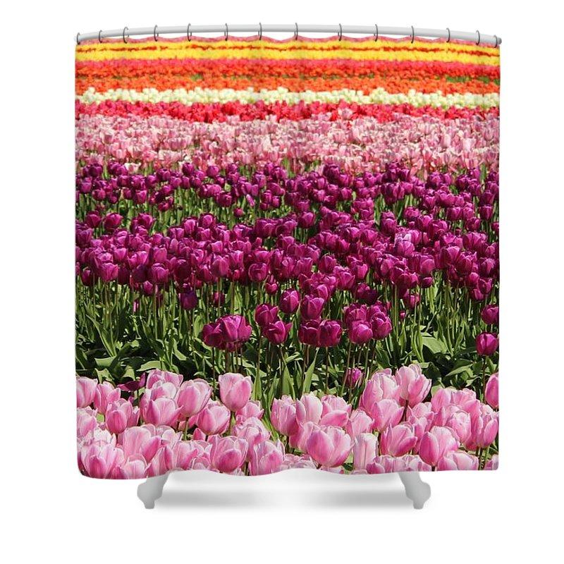 Tulip Shower Curtain featuring the photograph Tulip by Sherri Keene