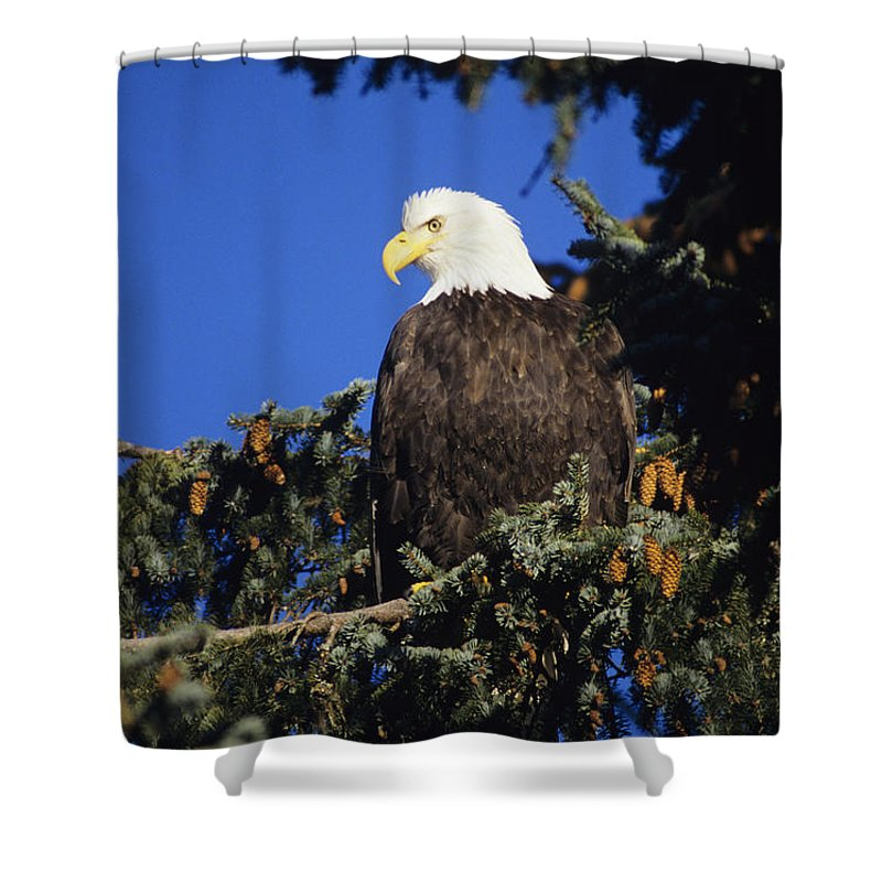 Alaska Shower Curtain featuring the photograph Bald Eagle by John Hyde - Printscapes