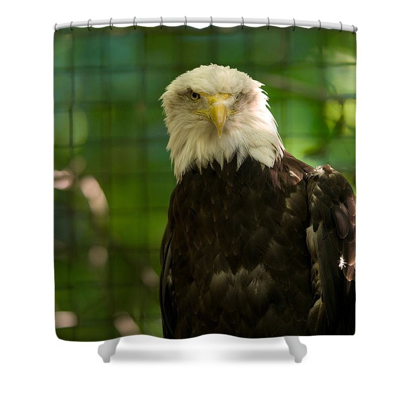 Bald Eagle Shower Curtain featuring the photograph A Bald Eagle At The Lincoln Zoo by Joel Sartore