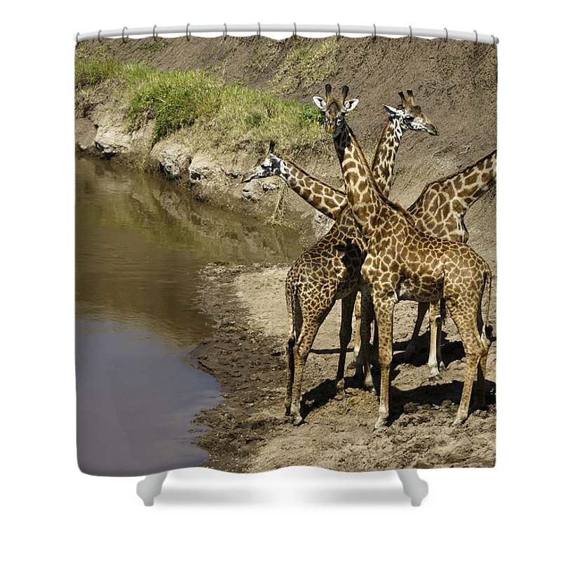 Africa Shower Curtain featuring the photograph A Bouquet Of Giraffes by Michele Burgess