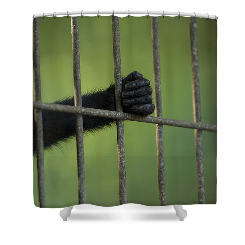 Photography Shower Curtain featuring the photograph A Celebes Macaque Macaca Nigra Holds by Joel Sartore