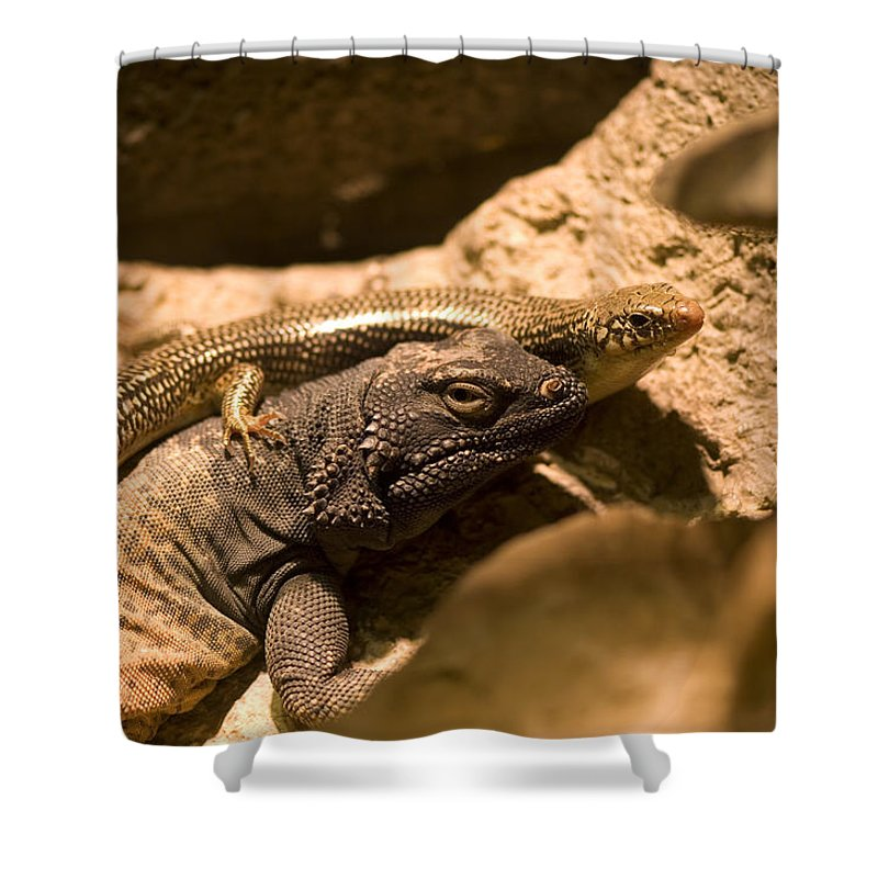 Photography Shower Curtain featuring the photograph A Chuckwalla Lizard And A Skink by Joel Sartore