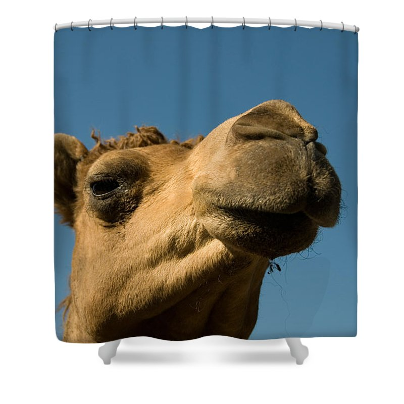 Dromedary Camel Shower Curtain featuring the photograph A Dromedary Camel At The Lincoln by Joel Sartore