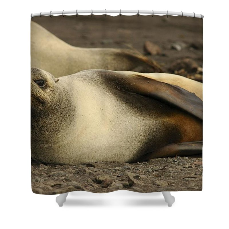 Ice Shower Curtain featuring the painting A Female Antarctic Fur Seal Sunning., By Noaa by Noaa