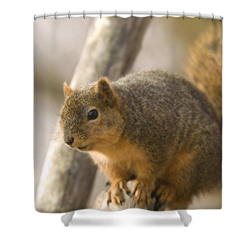Photography Shower Curtain featuring the photograph A Fox Squirrel Sciurus Niger Perches by Joel Sartore