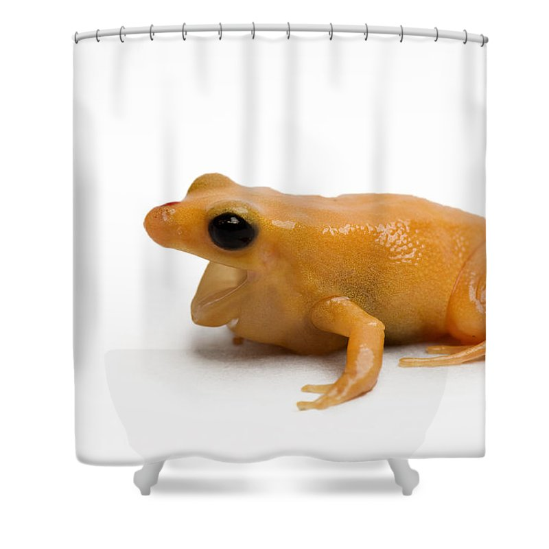 Studio Shot Shower Curtain Featuring The Photograph A Golden Mantella Frog By Joel Sartore