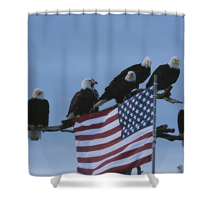 North America Shower Curtain featuring the photograph A Group Of Northern American Bald by Norbert Rosing