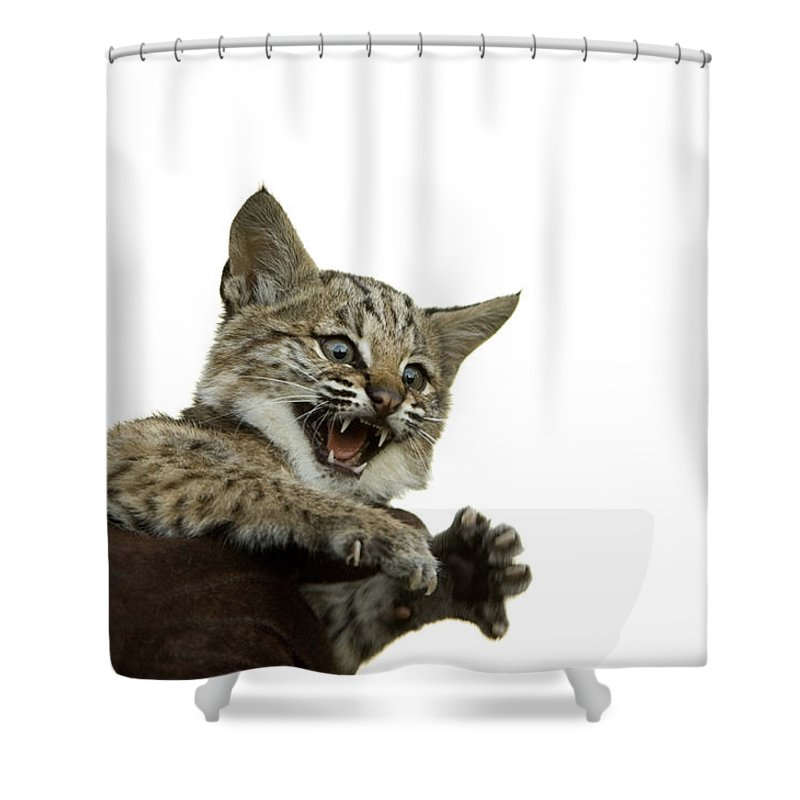 Photography Shower Curtain featuring the photograph A Hand-raised Bobcat Reacts As Its Held by Joel Sartore