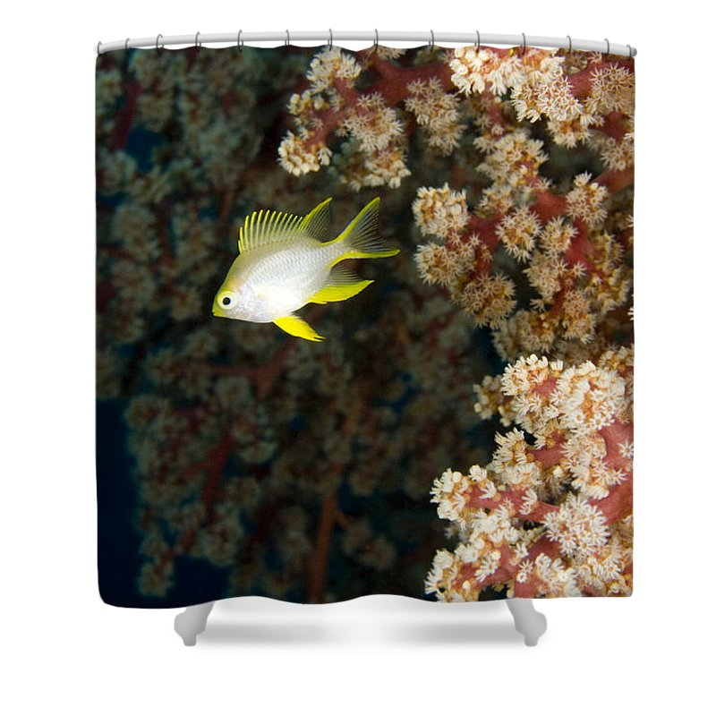 Golden Damsel Fish Shower Curtain featuring the photograph A Juvenile Golden Damsel Fish Shelters by Tim Laman