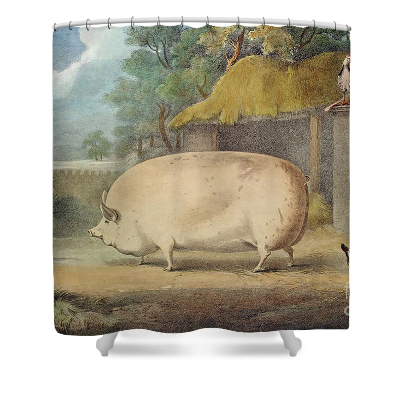 Pig Shower Curtain featuring the painting A Leicester Sow by William Henry Davis