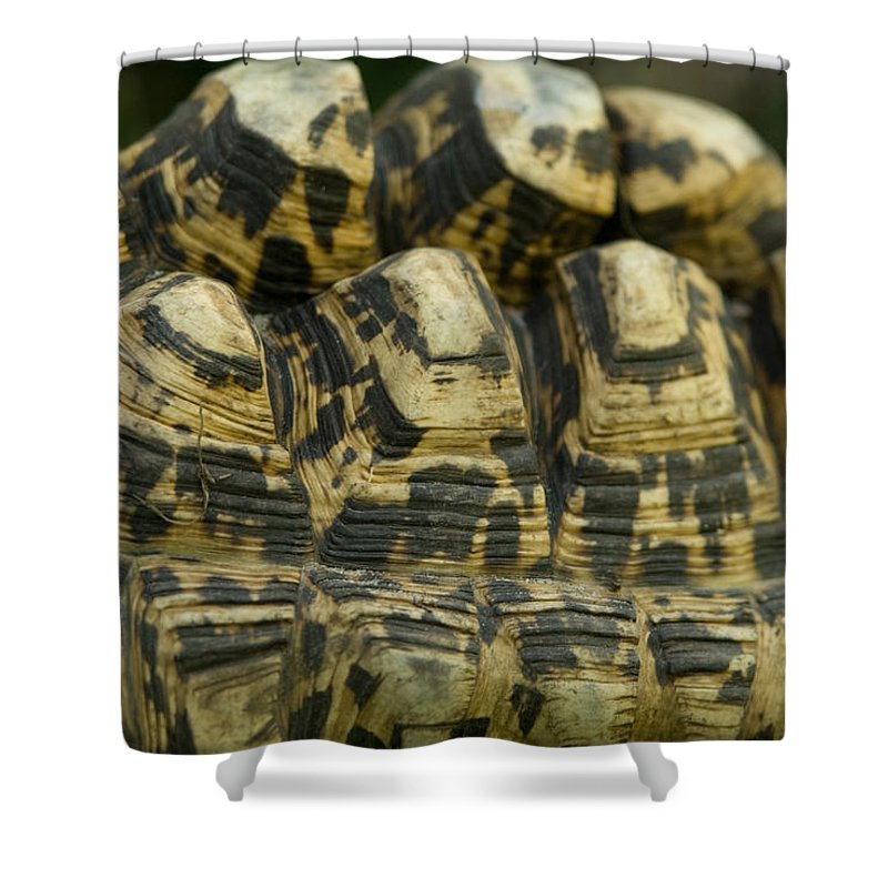 Leopard Tortoise Shower Curtain featuring the photograph A Leopard Tortoise On The Move by Joel Sartore
