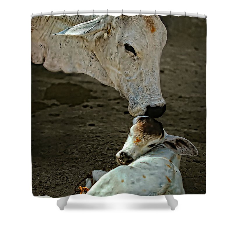 Cow Shower Curtain featuring the photograph A Mother's Love by Steve Harrington