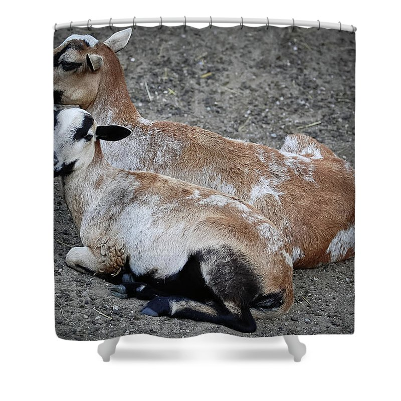 Goats Shower Curtain featuring the photograph A Nanny And Her Kid by DigiArt Diaries by Vicky B Fuller