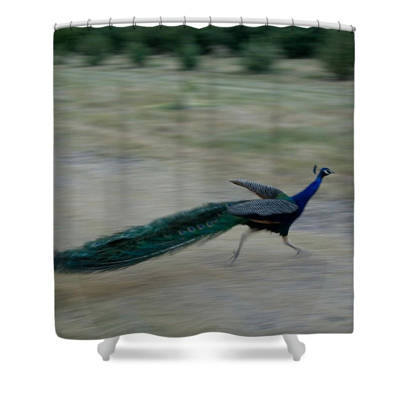 Photography Shower Curtain featuring the photograph A Peacock On A Hog Farm In Kansas by Joel Sartore