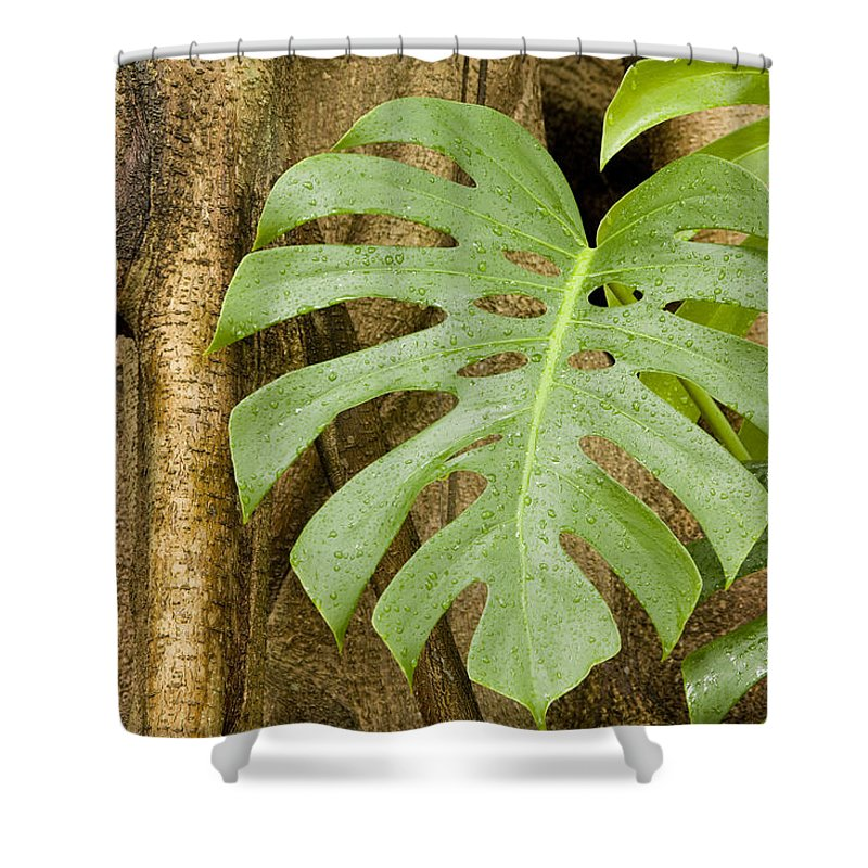 Strangler Fig Trees Shower Curtain featuring the photograph A Philodendron Grows On The Side by Tim Laman