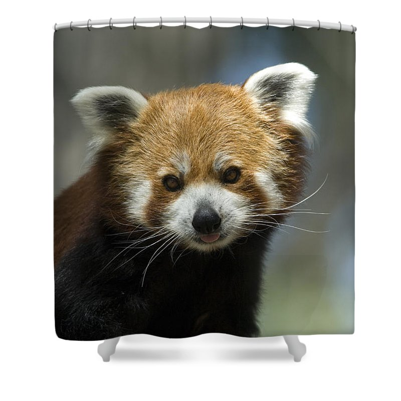 Photography Shower Curtain featuring the photograph A Red Panda Ailurus Fulgens At Zoo by Joel Sartore