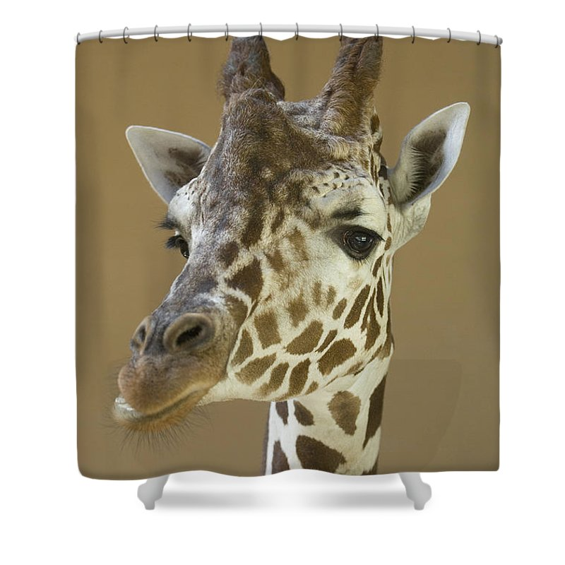 Nobody Shower Curtain featuring the photograph A Reticulated Giraffe Makes A Slanted by Joel Sartore