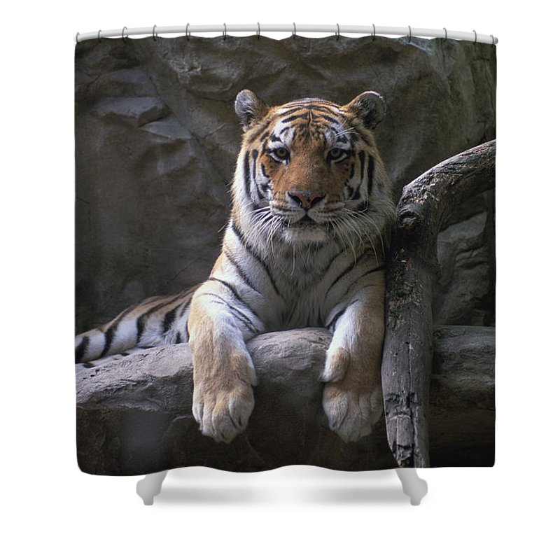 Photography Shower Curtain featuring the photograph A Siberian Tiger At Omahas Henry Doorly by Joel Sartore