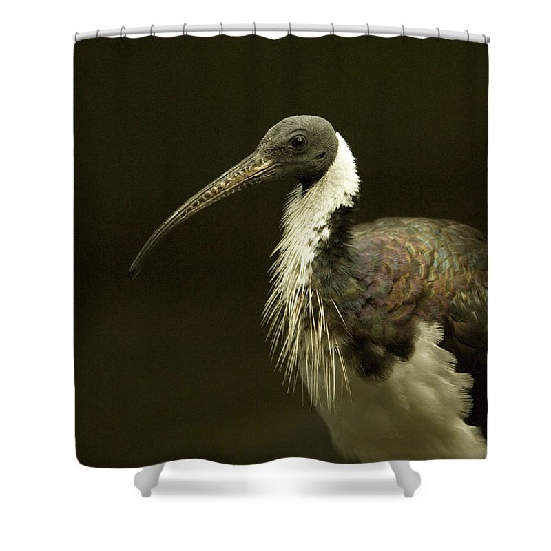 Photography Shower Curtain featuring the photograph A Straw-necked Ibis Threskiornis by Joel Sartore