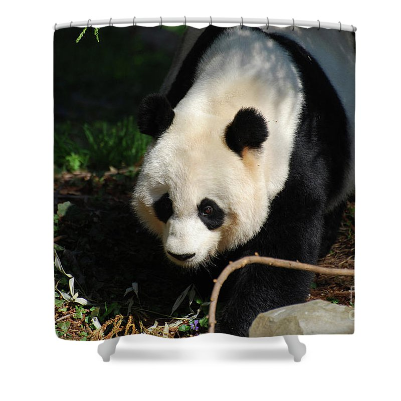 Panda Shower Curtain featuring the photograph Absolutely Beautiful Giant Panda Bear With A Sweet Face by DejaVu Designs