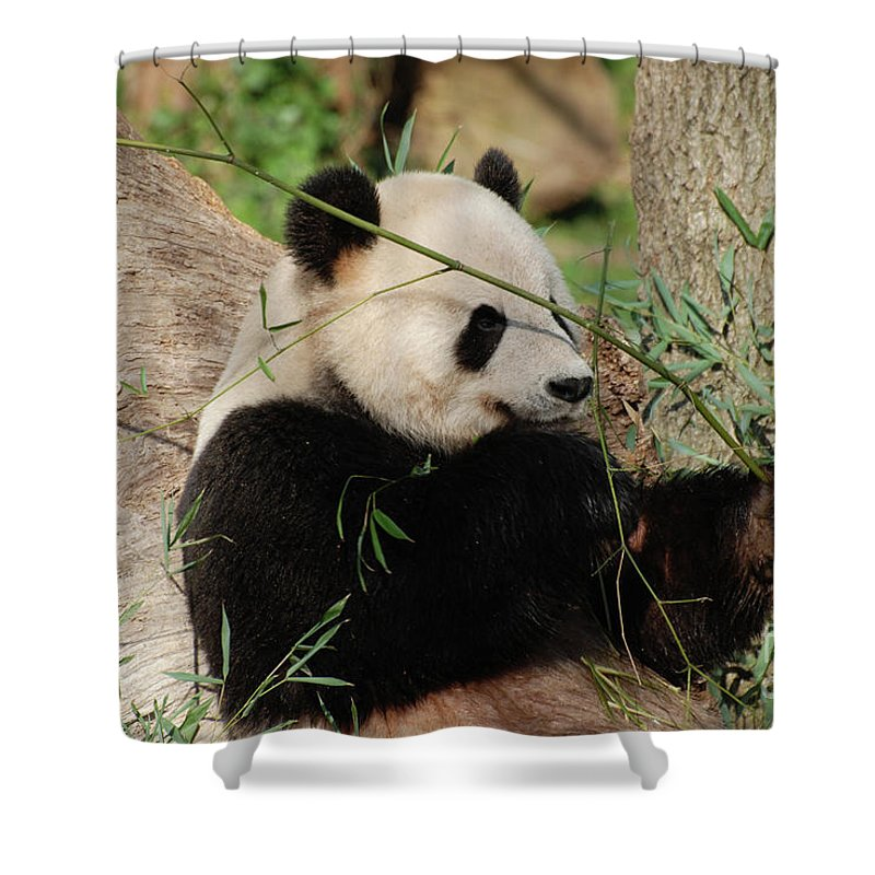 Panda Shower Curtain featuring the photograph Adorable Giant Panda Bear Eating Bamboo Shoots by DejaVu Designs