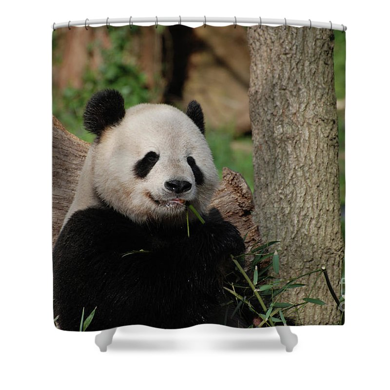 Panda Shower Curtain featuring the photograph Adorable Giant Panda Eating A Shoot Of Bamboo by DejaVu Designs