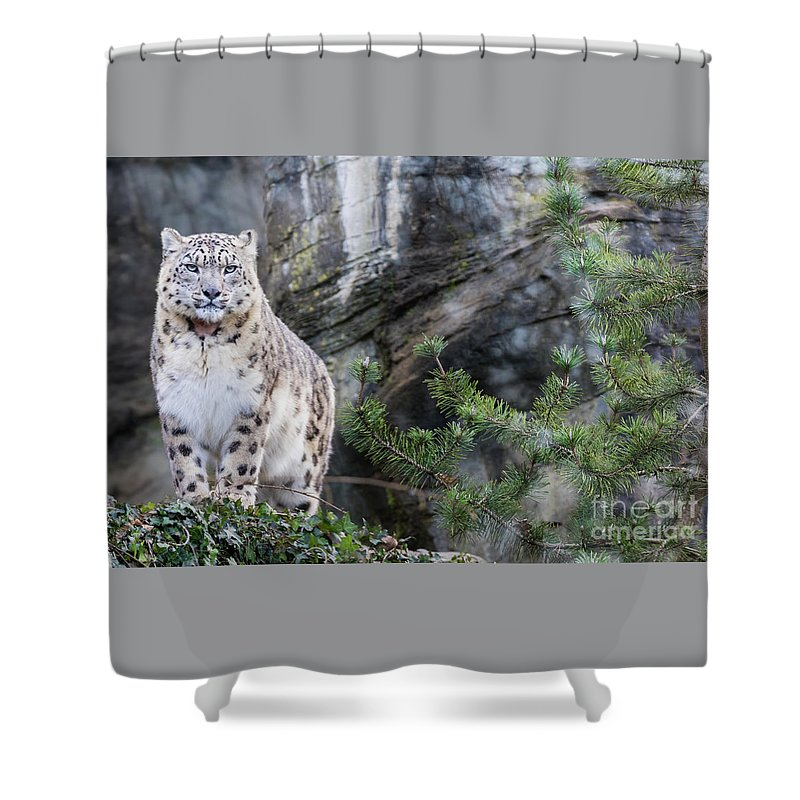 Snow Shower Curtain featuring the photograph Adult Snow Leopard Standing On Rocky Ledge by Jane Rix