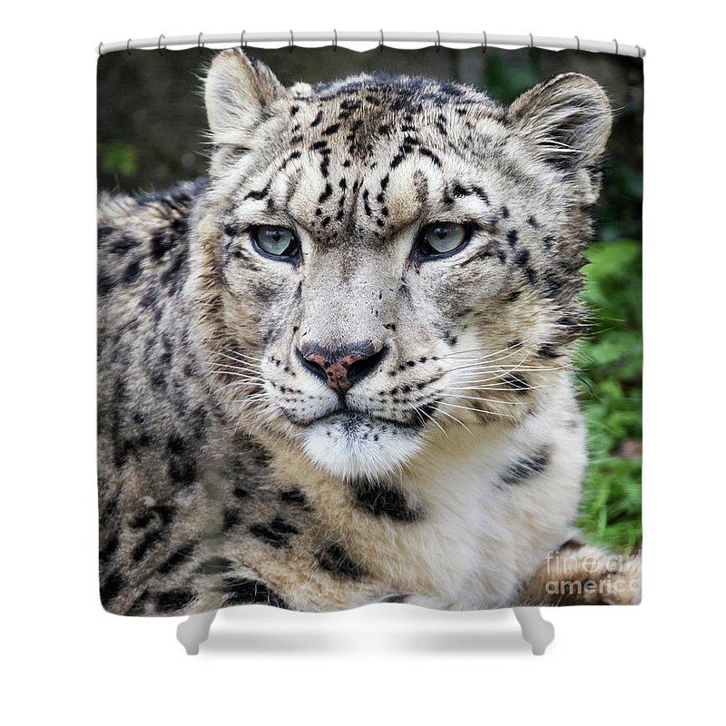 Leopard Shower Curtain featuring the photograph Adult Snow Leopard Portrait by Jane Rix