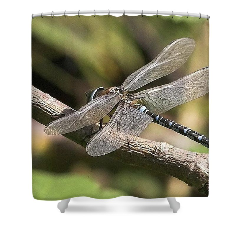 Dragonfly Shower Curtain featuring the photograph Aeshna Juncea - Common Hawker taken At by John Edwards