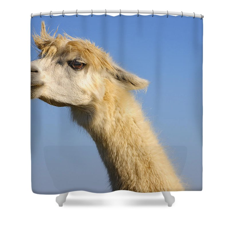 Skip Hunt Shower Curtain featuring the photograph Alpaca by Skip Hunt