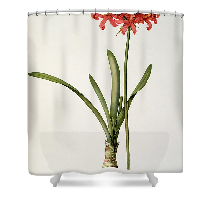 Amaryllis Shower Curtain featuring the drawing Amaryllis Curvifolia by Pierre Redoute