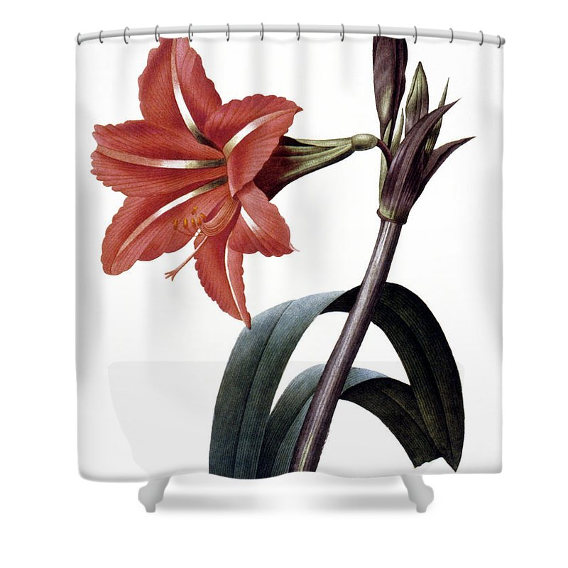 1833 Shower Curtain featuring the photograph Amaryllis by Granger