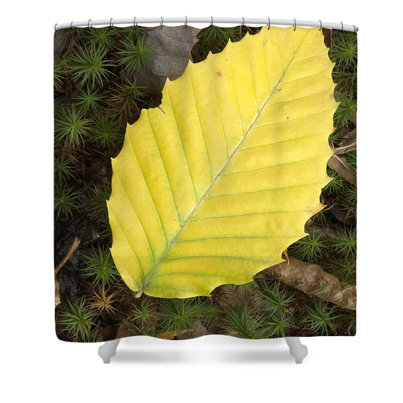 Autumn Shower Curtain featuring the photograph American Beech Leaf by Erin Paul Donovan