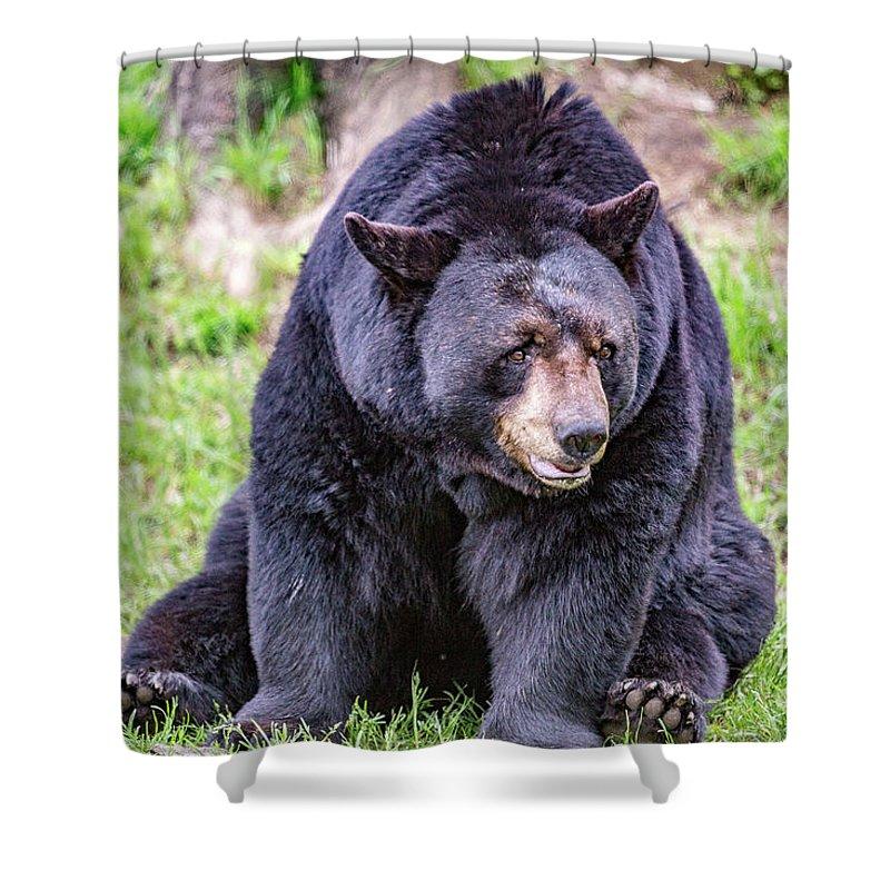 Black_bear Shower Curtain featuring the photograph American Black Bear by Csaba Demzse