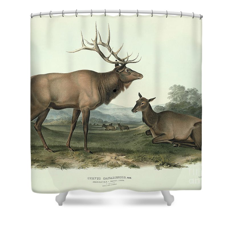 Cervus Canadensis American Elk Shower Curtain Featuring The Painting By John James Audubon