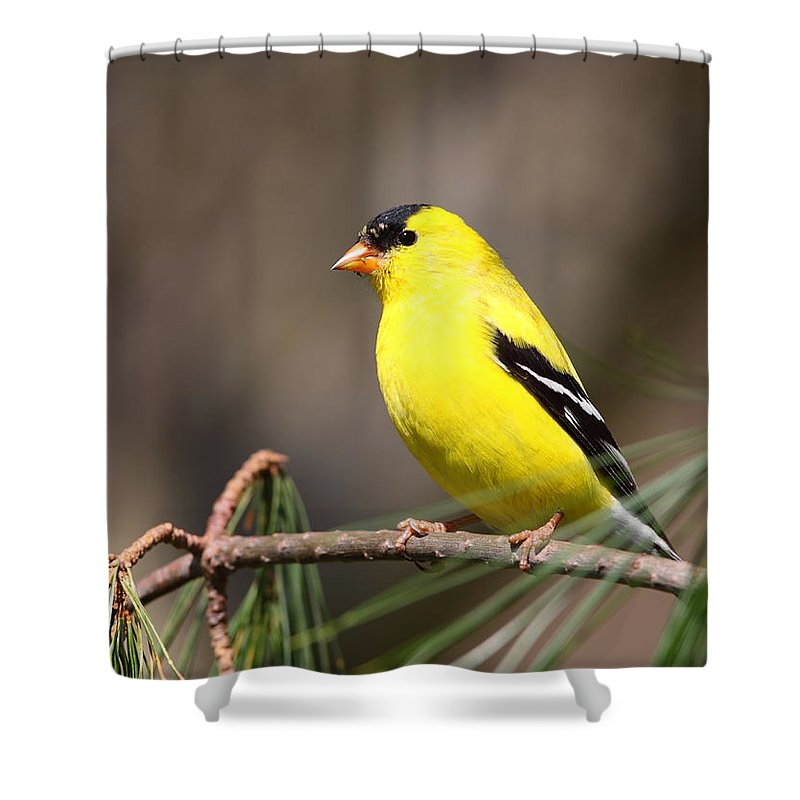 Goldfinch Shower Curtain featuring the photograph American Goldfinch II by Bruce J Robinson