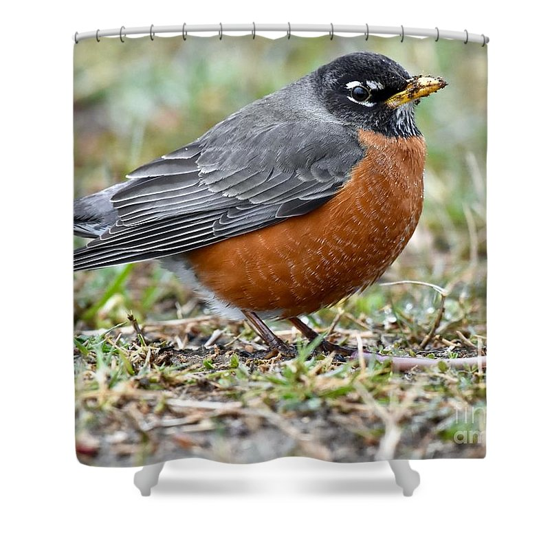 Animal Shower Curtain featuring the photograph American Robin With Muddy Beak by Jeramey Lende