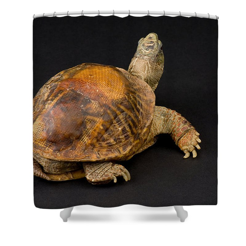 Photography Shower Curtain featuring the photograph An Ornate Box Turtle With A Fiberglass by Joel Sartore