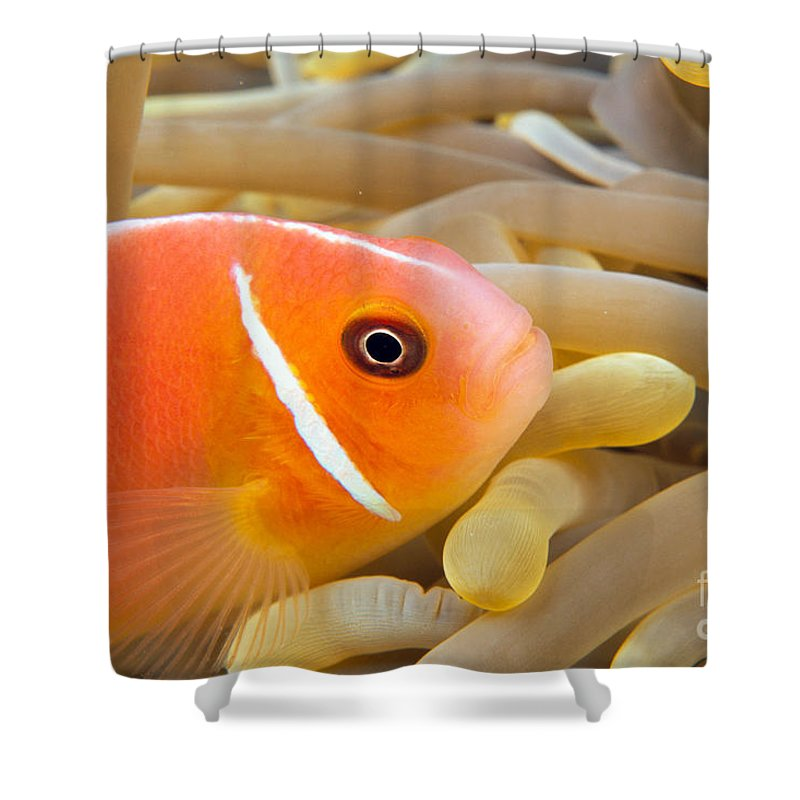 Amphiprion Shower Curtain featuring the photograph Anemonefish by Dave Fleetham - Printscapes