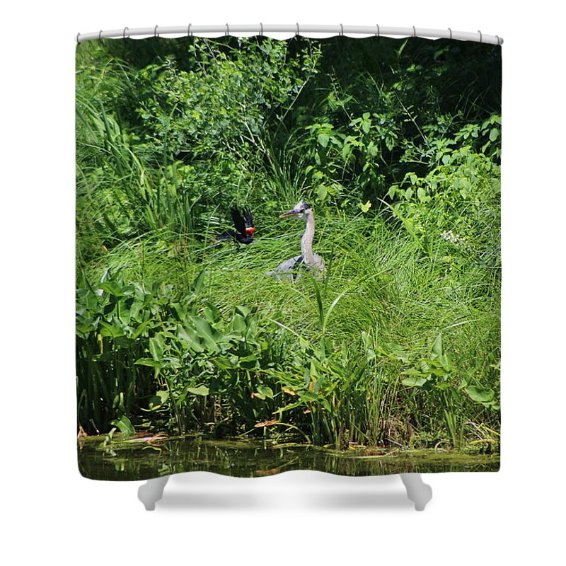 Marsh Shower Curtain featuring the photograph Annoyed - Heron and Red Winged Blackbird 5 of 10 by Colleen Cornelius