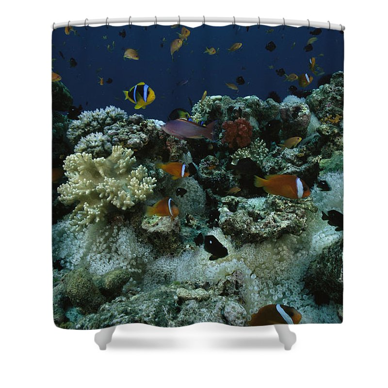 Outdoors Shower Curtain featuring the photograph Anthias Fish, Anemonefish And Basslets by Tim Laman