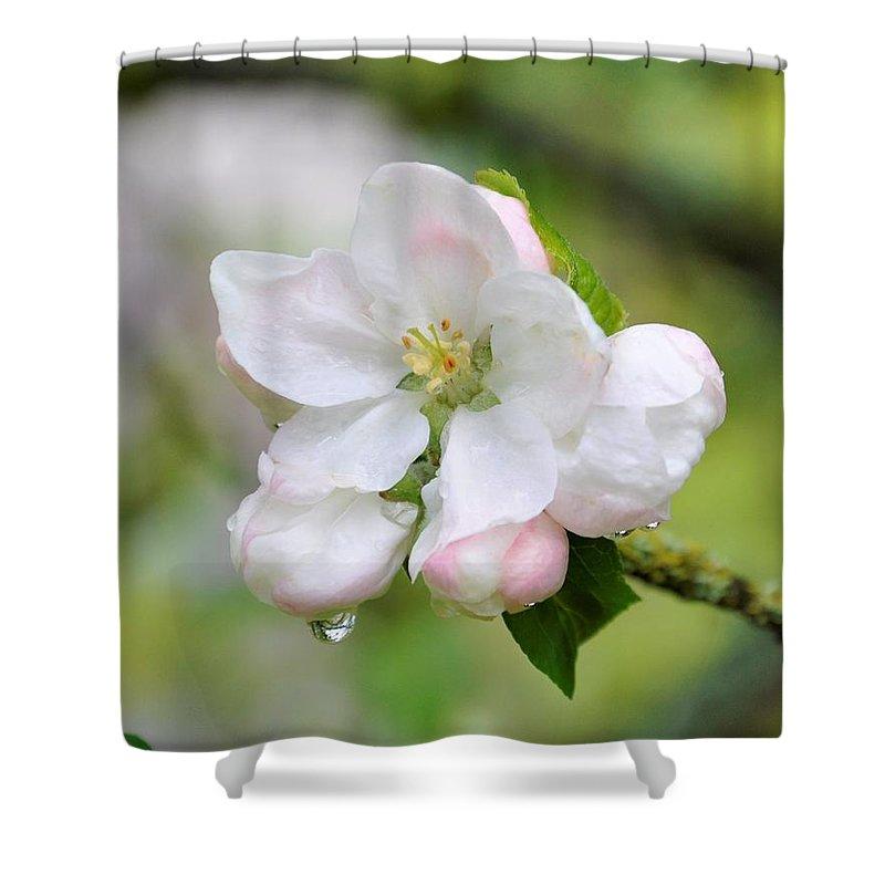 Apple Blossom Shower Curtain featuring the photograph Apple Blossom by Sally Falkenhagen