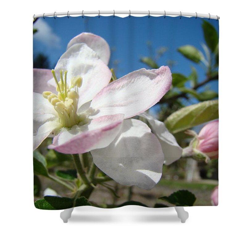 Apple Shower Curtain featuring the photograph Apple Blossoms Art Prints Canvas Blue Sky Pink White Blossoms by Baslee Troutman