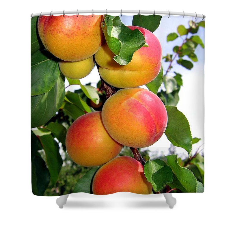 Apricots Shower Curtain featuring the photograph Apricots by Will Borden