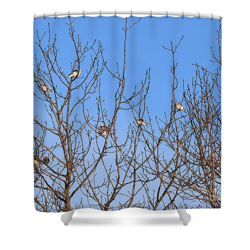 Arctic Bunting Shower Curtain featuring the photograph Arctic Buntings by William Tasker