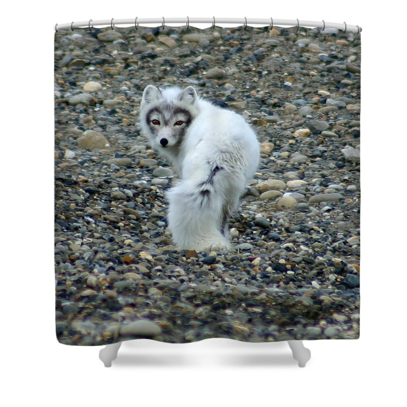 Alaska Shower Curtain featuring the photograph Arctic Fox by Anthony Jones