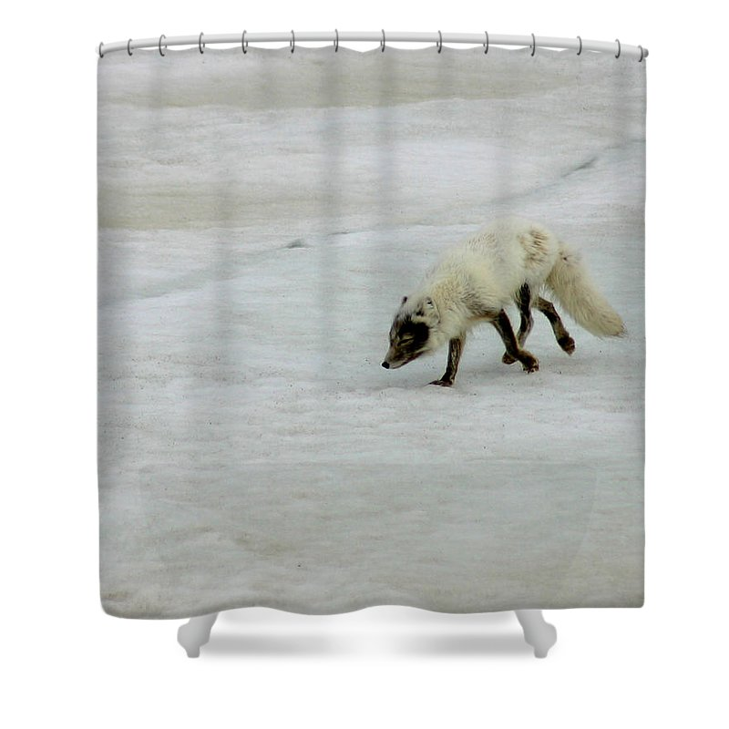 Arctic Fox Shower Curtain featuring the photograph Arctic Fox On Ice by Anthony Jones