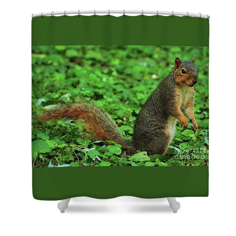 Squirrel Art Animal Portrait Nature Cute Pose Outdoors Omaha Green Background Wildlife Wood Print Canvas Print Metal Frame Poster Print Available On Pouches T Shirts Mugs Shower Curtains Tote Bags Weekender Tote Bags And Phone Cases Shower Curtain featuring the photograph Are You Taking My Picture Again ? by Marcus Dagan