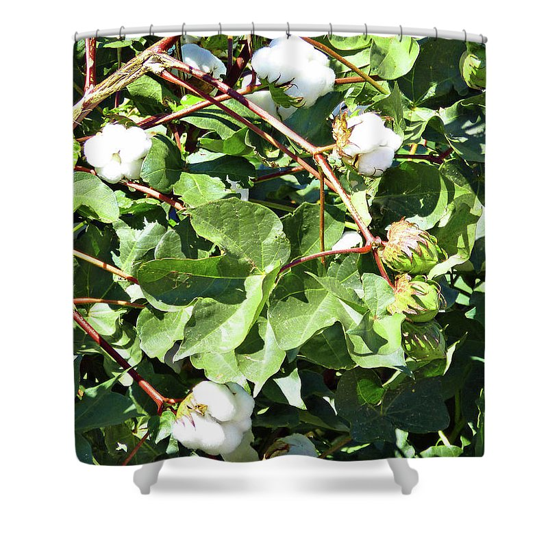 Arizona Cotton Shower Curtain featuring the photograph Arizona Cotton by Methune Hively